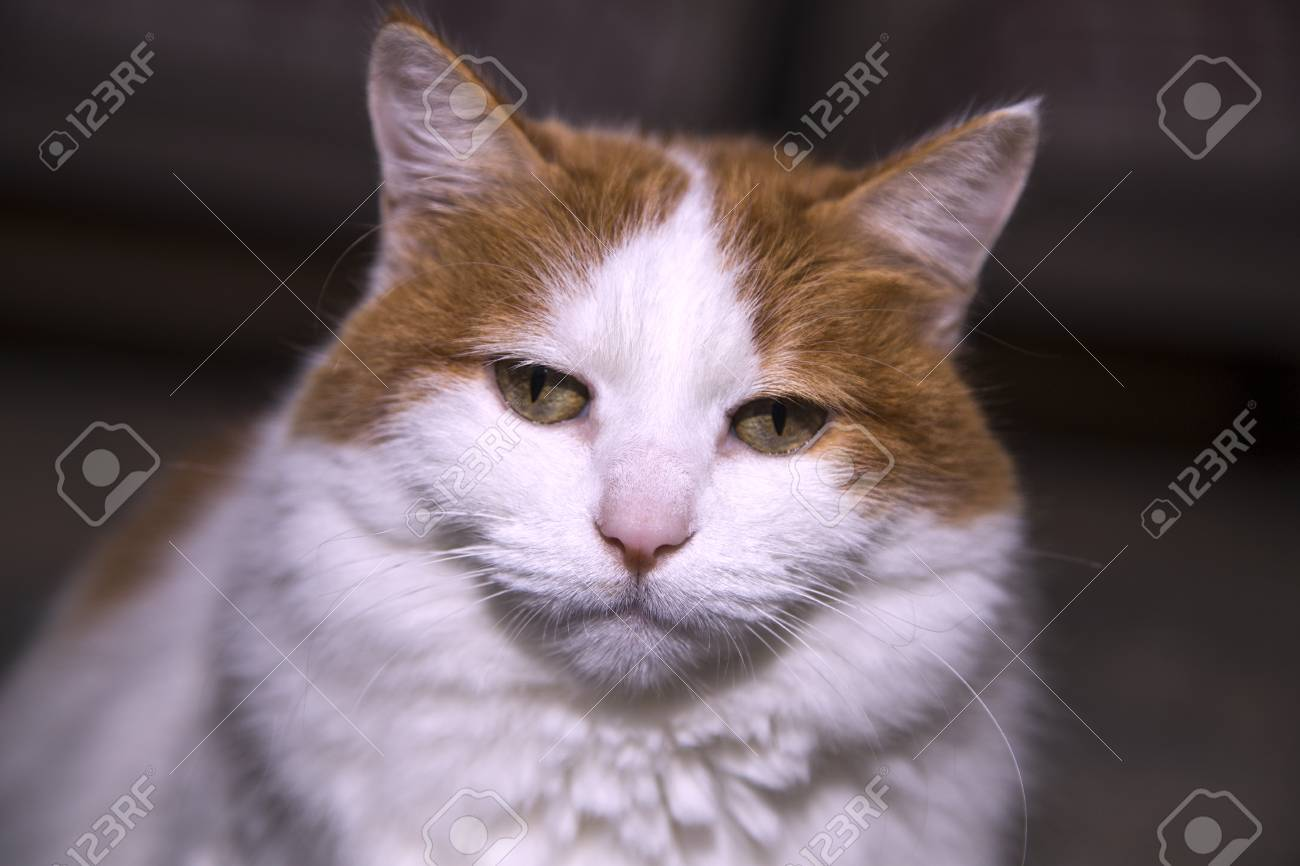 fe14b0e78e One Turkish Van cat Stock Photo - 98358109