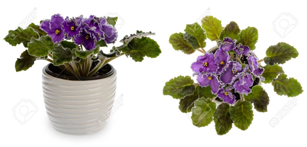 African Violet (saintpolia) In Decorative Ceramic Cache Pot Isolated ...