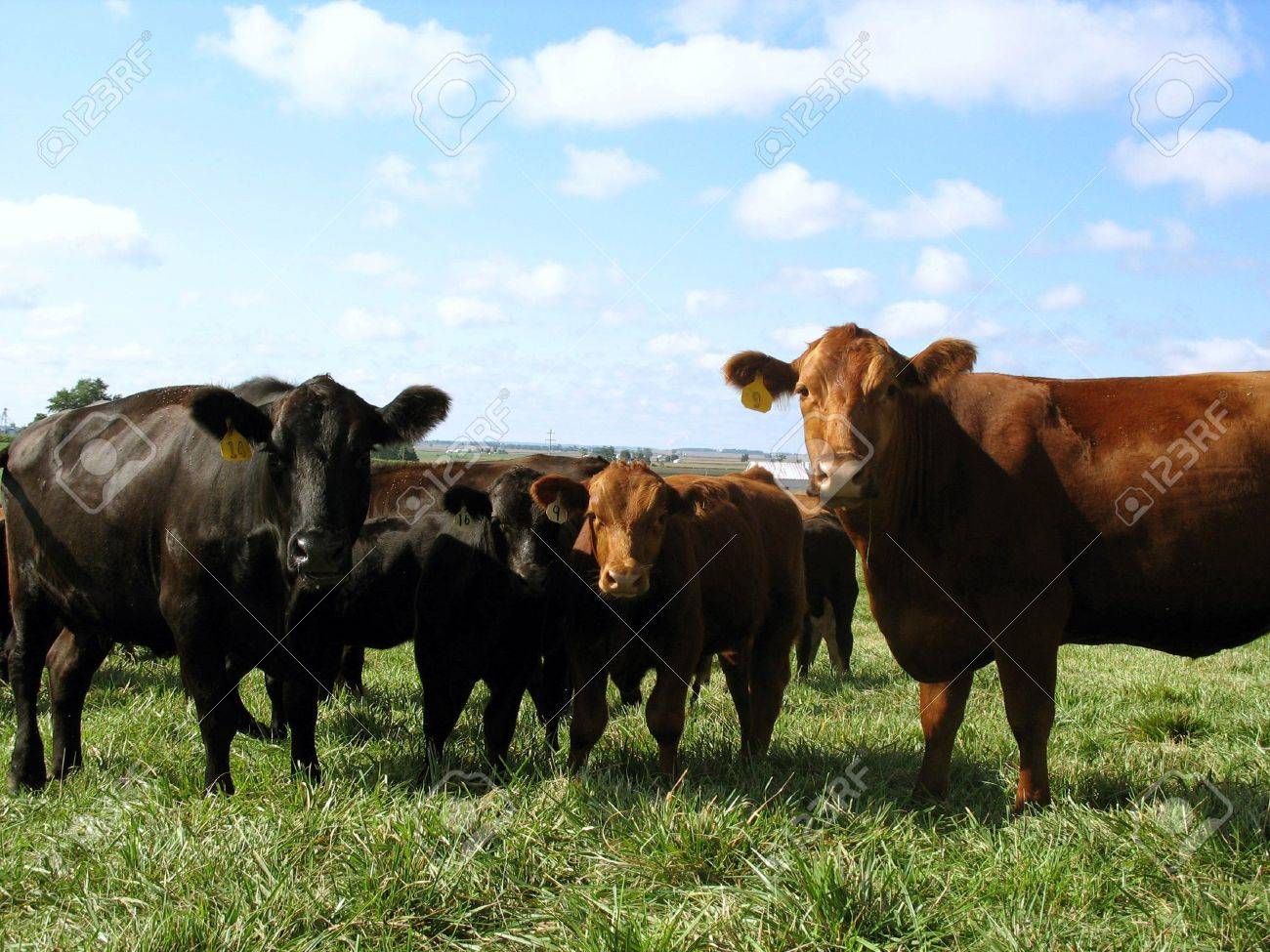 Black and Red Angus Cows Cattle Stock Photo - 5563837