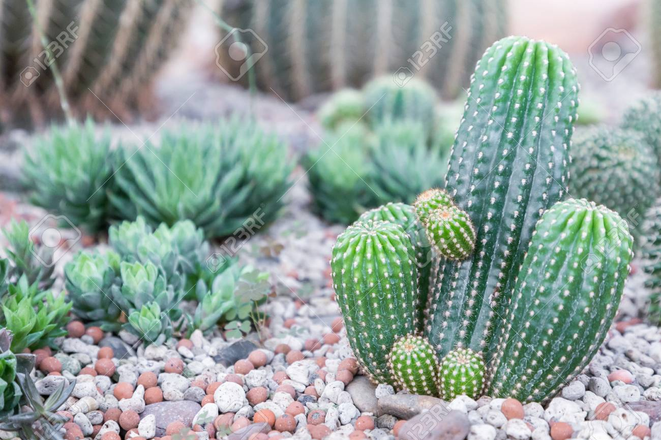 Succulents Or Cactus In Desert Botanical Garden And Stone Pebbles ...