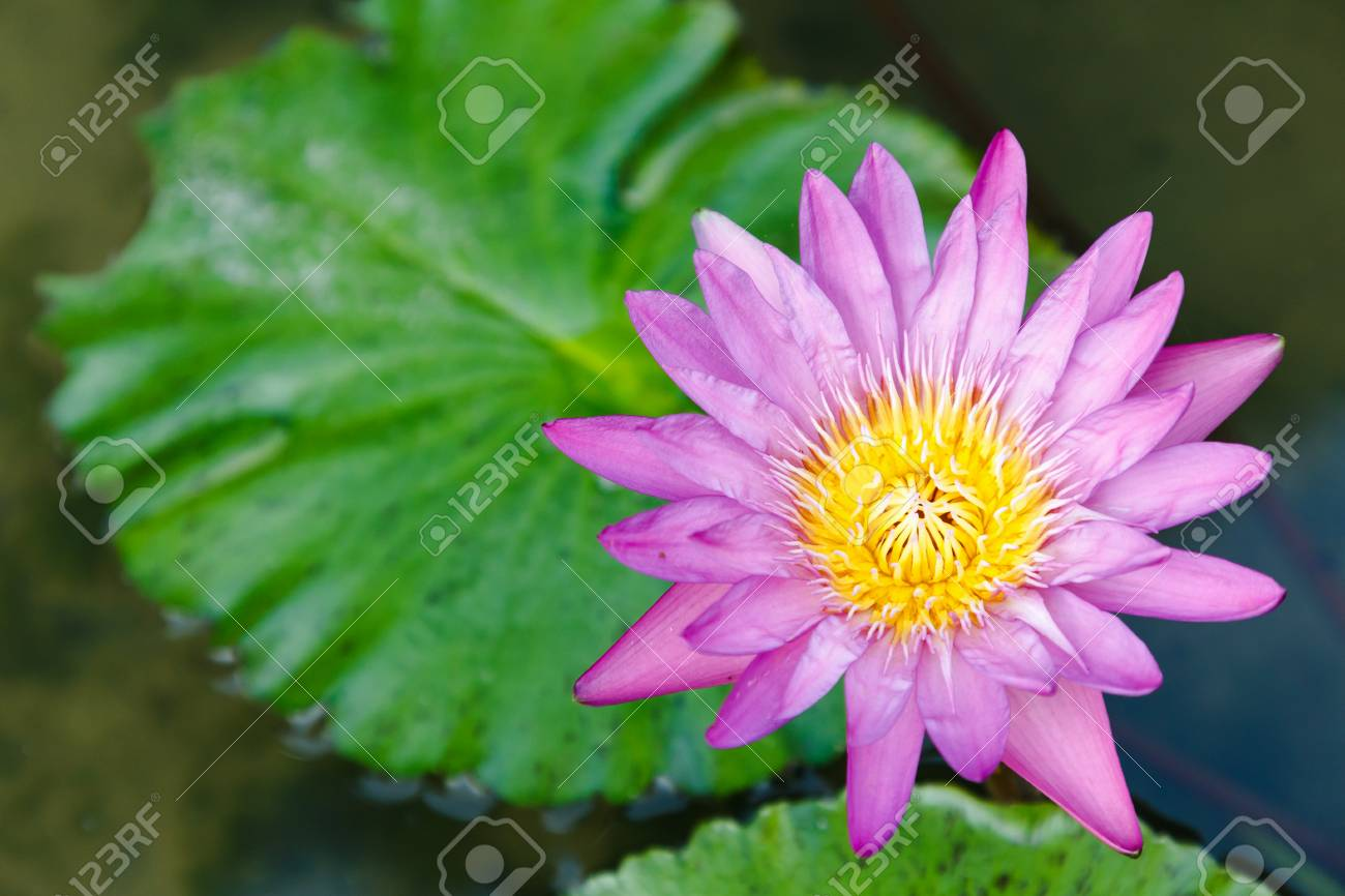Lotus Flower Or Water Lily Flower Blooming With Lotus Leaves Stock