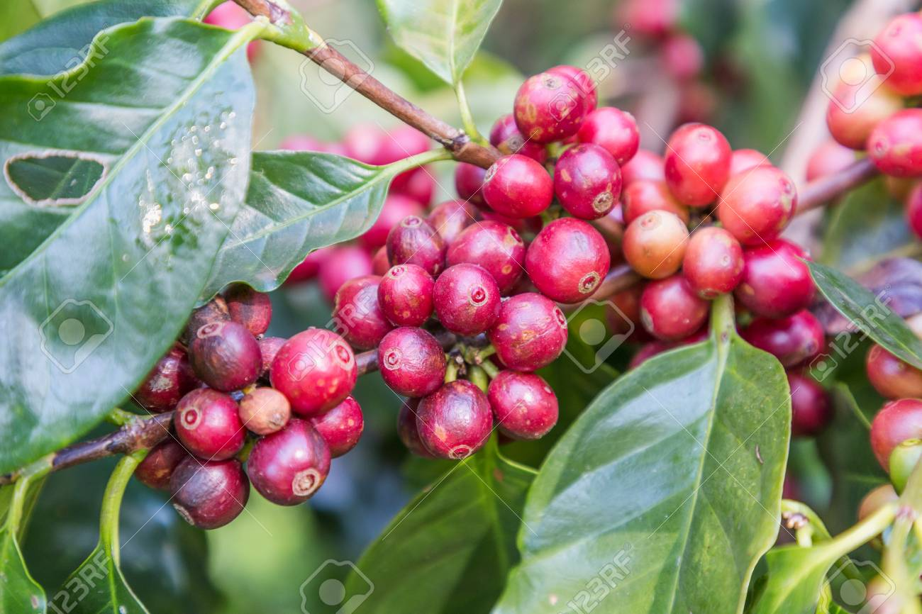 Green Coffee Beans Growing On The Branch Raw Coffee Bean On