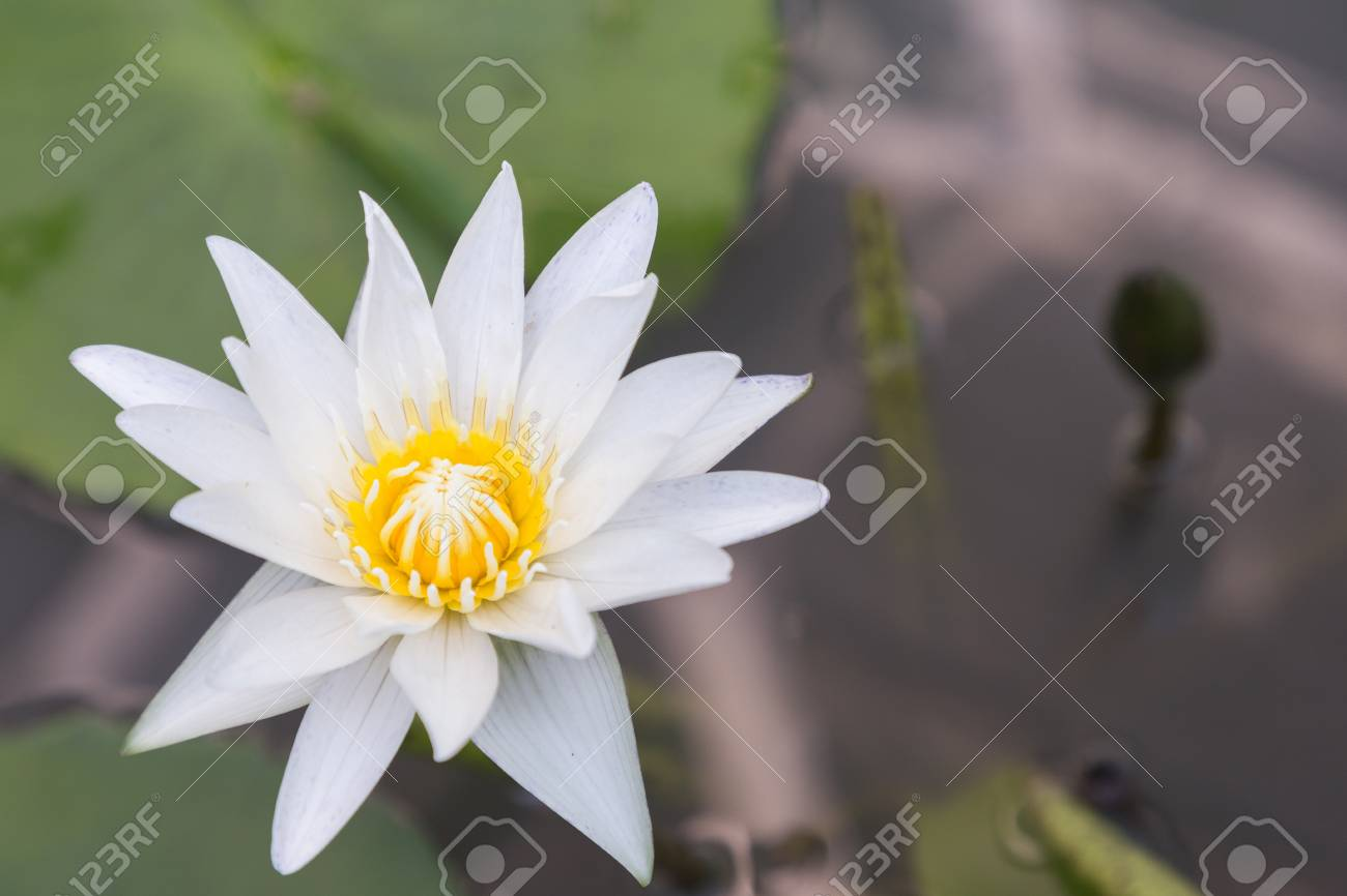 Lotus flower or water lily flower blooming with lotus leaves stock lotus flower or water lily flower blooming with lotus leaves background in the pond at sunny izmirmasajfo