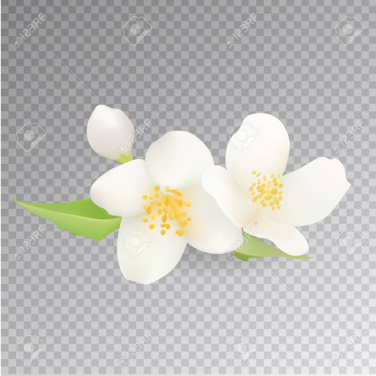 Realistic Jasmine Flower Icon Isolated On Transparent Background