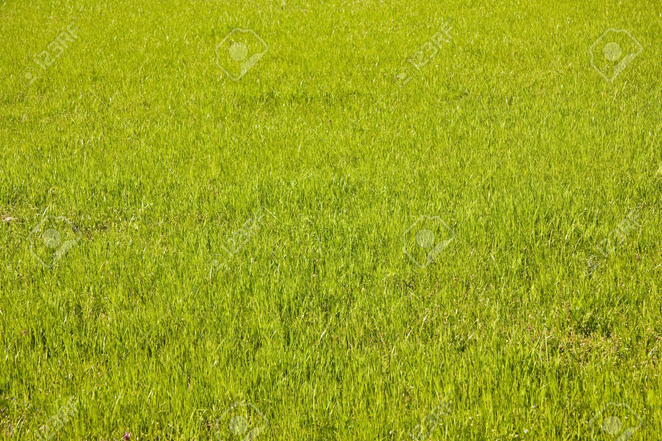 Beautiful Lots Of Light Green Grass In Spring Stock Photo, Picture And  UN04