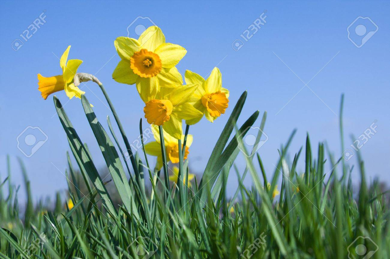 daffodil images u0026 stock pictures royalty free daffodil photos and