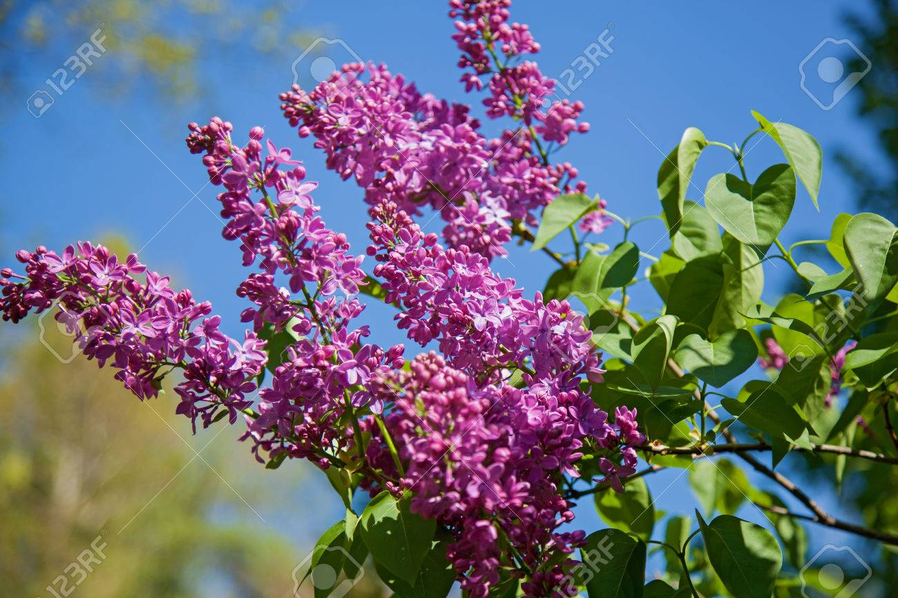 A Flowering Bush Of Lilac Is In A Garden Flowers By A Spring