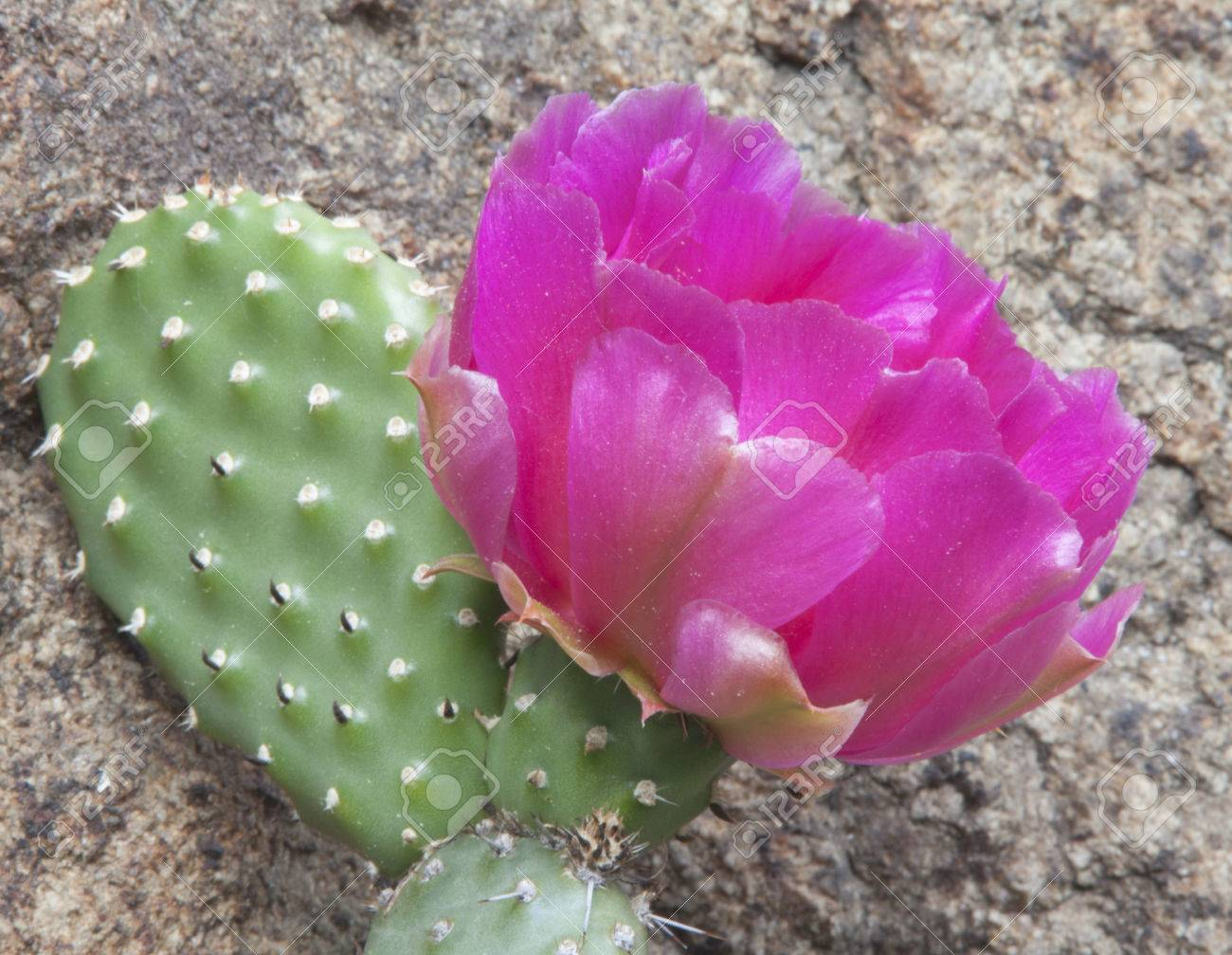 Large amazing pink cactus flower growing in a crevice of the stock large amazing pink cactus flower growing in a crevice of the stone cactus growing in mightylinksfo