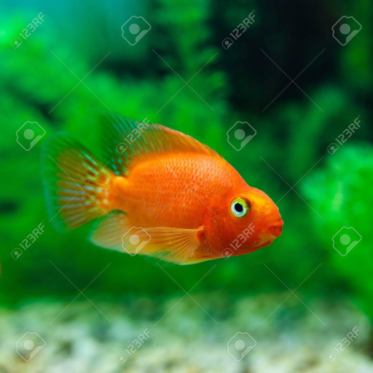 Red Blood Parrot Cichlid Im Aquarium Pflanze Grunen Hintergrund Goldfisch Lustig Orange Bunte Fische Hobby Konzept Lizenzfreie Fotos Bilder Und Stock Fotografie Image 58450857