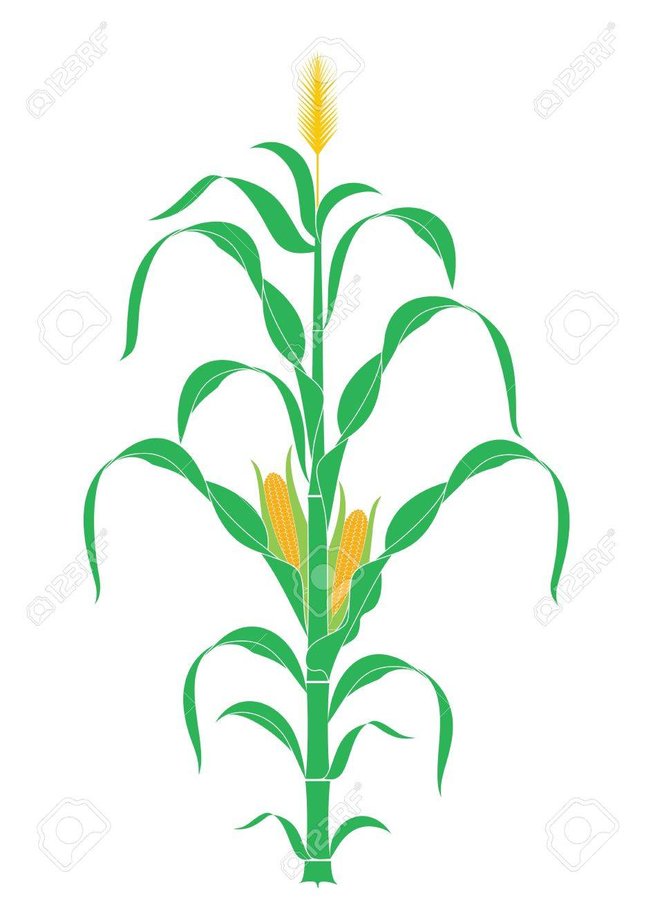 corn stalk plant vector royalty free cliparts vectors and rh 123rf com corn stalk clipart free Corn Clip Art