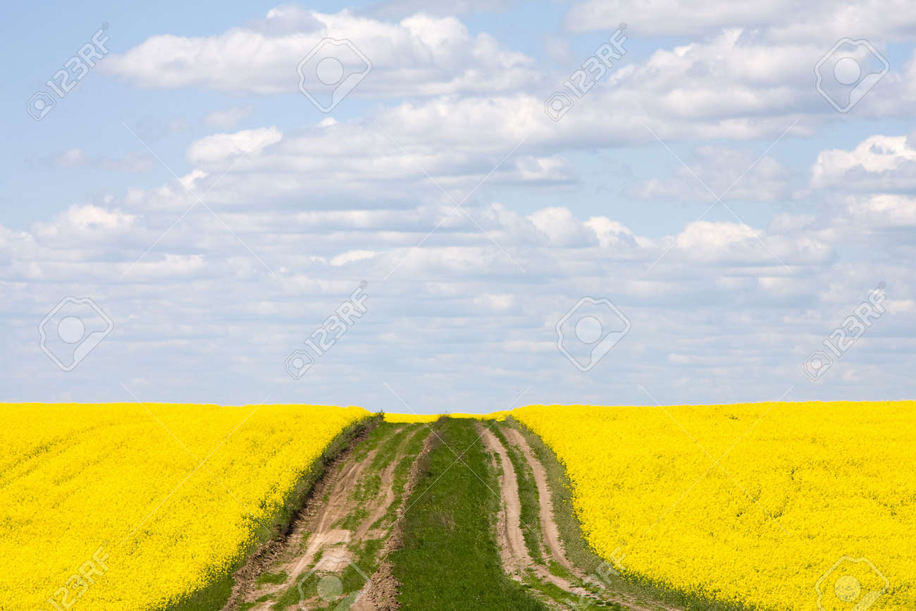Field with rape Stock Photo - 5110368