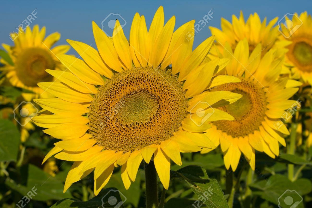 Sunflower field over blue sky in Ukraine Stock Photo - 14626533