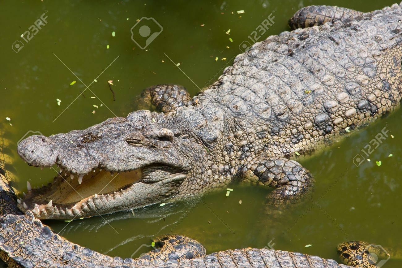 Crocodile Stock Photo - 17038401
