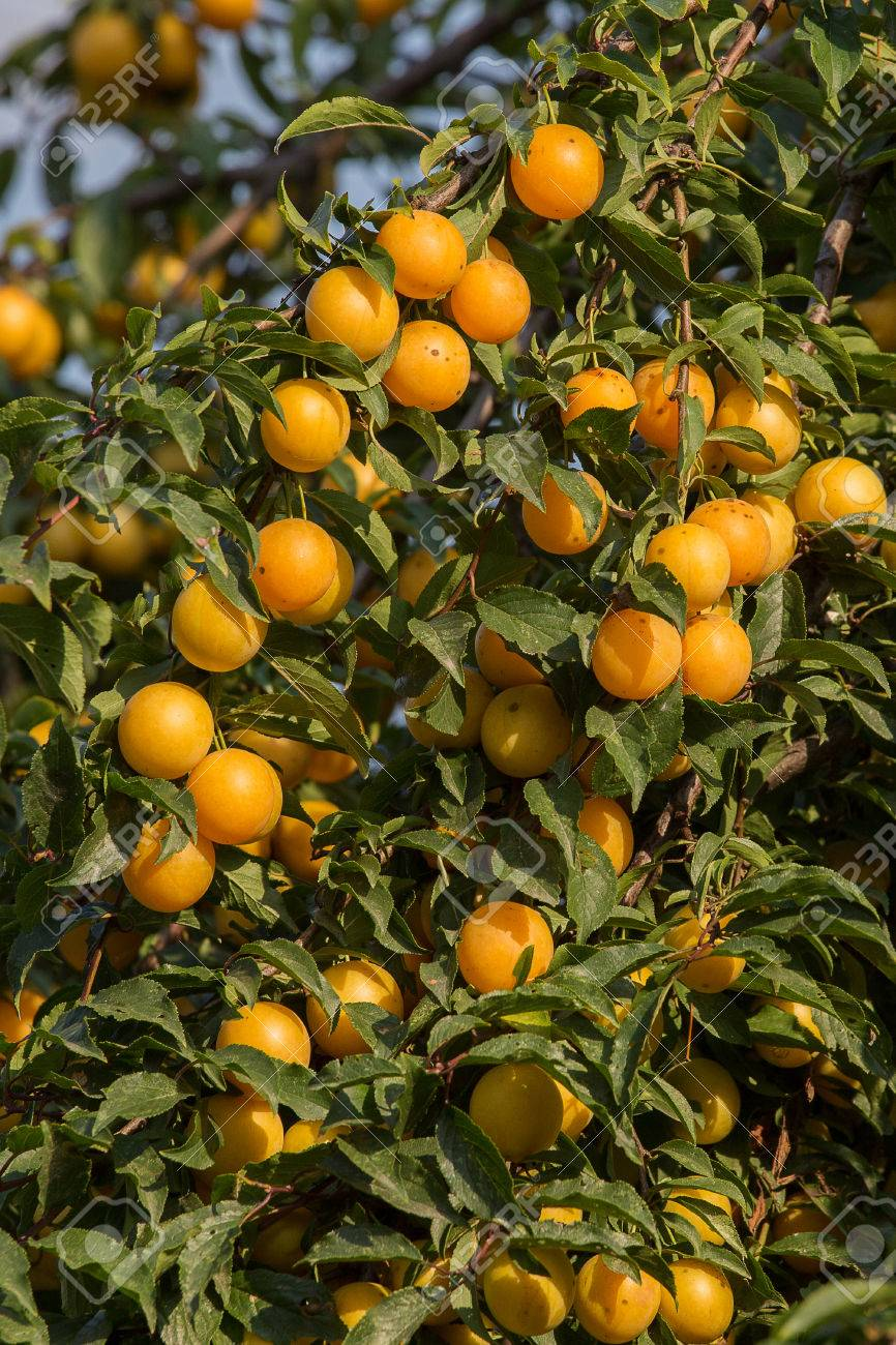 Cherry-plum Tree With Fruits Growing In The Garden Stock Photo ...