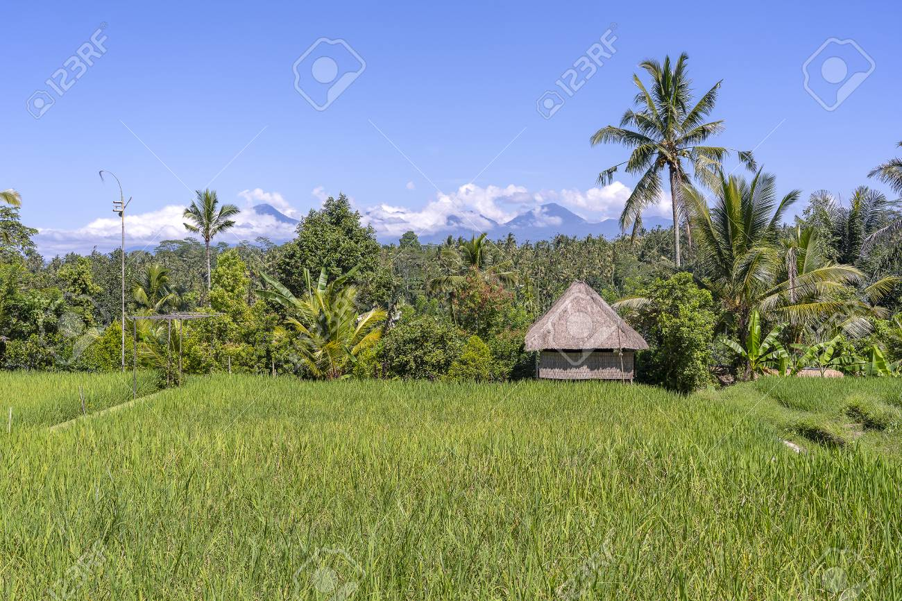 Landscape With Green Rice Fields Straw House And Palm Trees