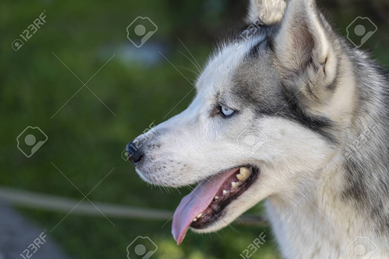 Siberian husky dog with blue eyes sits and looks aside, outdoors in the nature on a sunny day, close up - 122874615