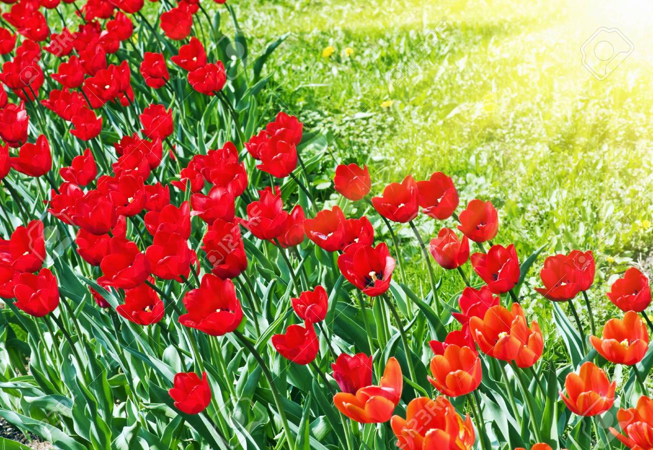 red tulips on a background of grass and the sun Stock Photo - 11484628