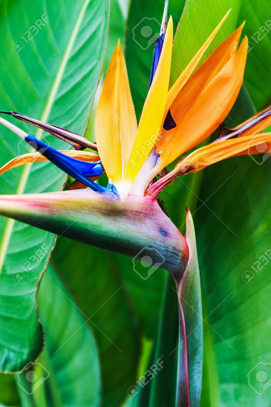 Fiori Uccelli Del Paradiso.Immagini Stock Strelitzia Reginae Primo Piano Del Fiore Uccello