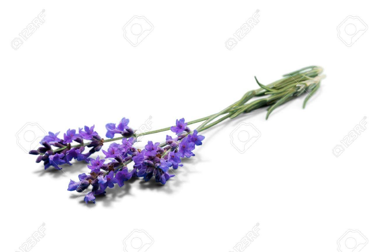 Lavender. Stock Photo - 48635353