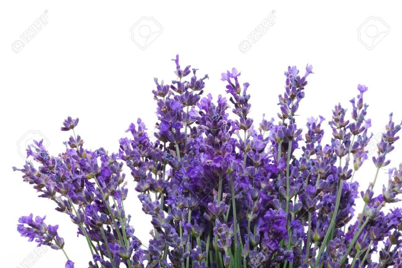 Lavender. - 50477151