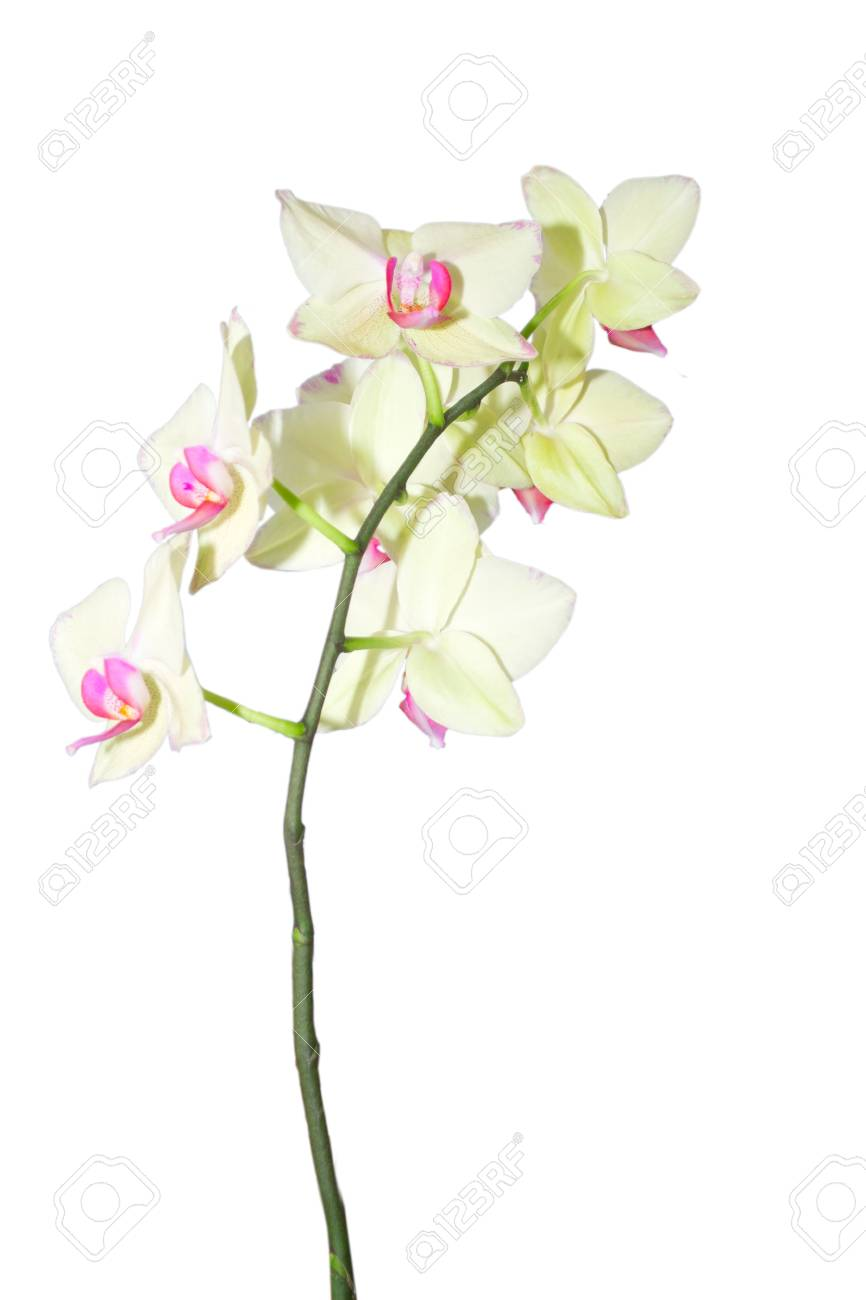 Orchid flower on a white background Stock Photo - 17707651