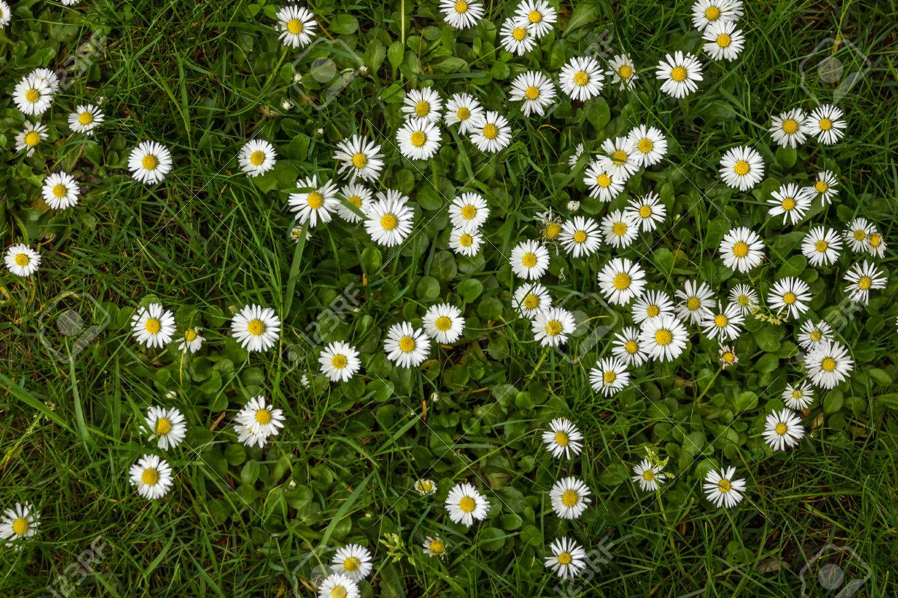 Daisy Flower Background Daisy Is A Flower Of Asteraceae Family