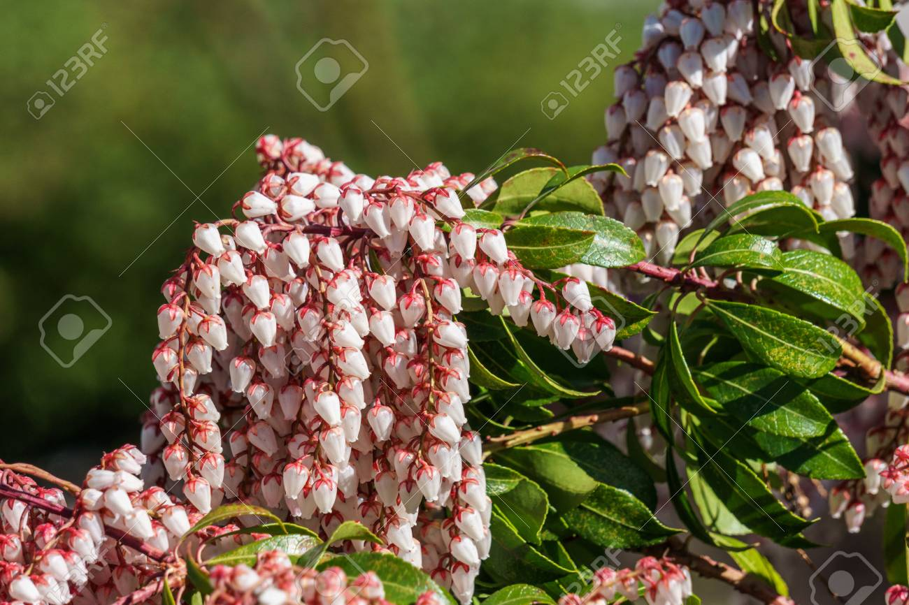 Small White Flowers On A Bush In Forest With Blure Background Stock