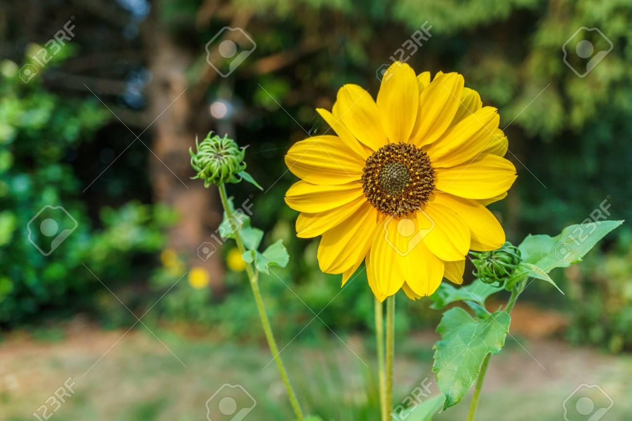 Banque d\u0027images , Grande fleur jaune au matin avec fond estompée dans le  jardin