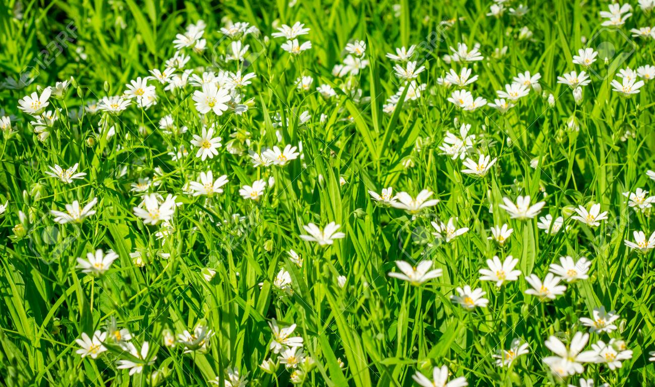 White Flowers With A Yellow Center In A Natural Habitat Stock Photo