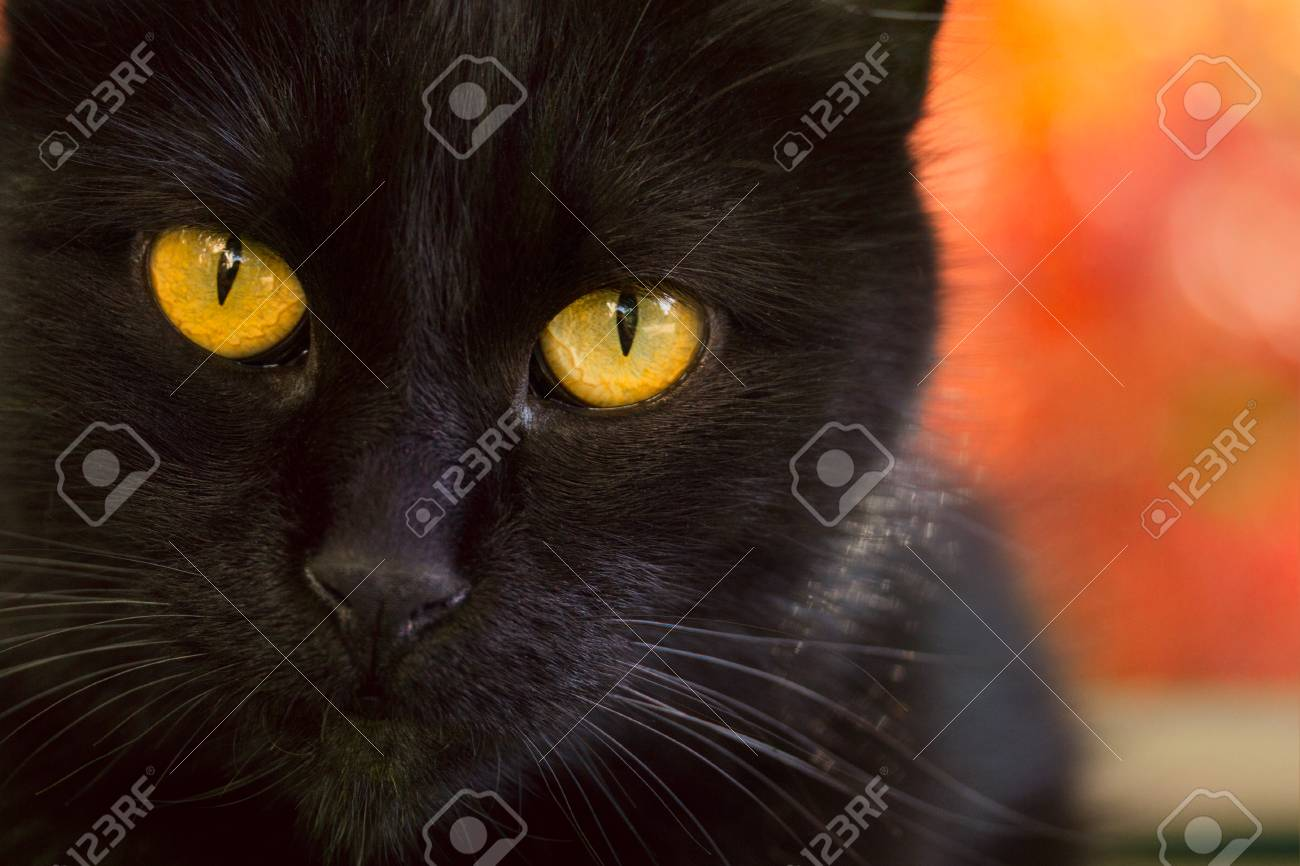Portrait Of A Black Cat With Bright Orange Eyes Concept Of Autumn Stock Photo Picture And Royalty Free Image Image 113667564