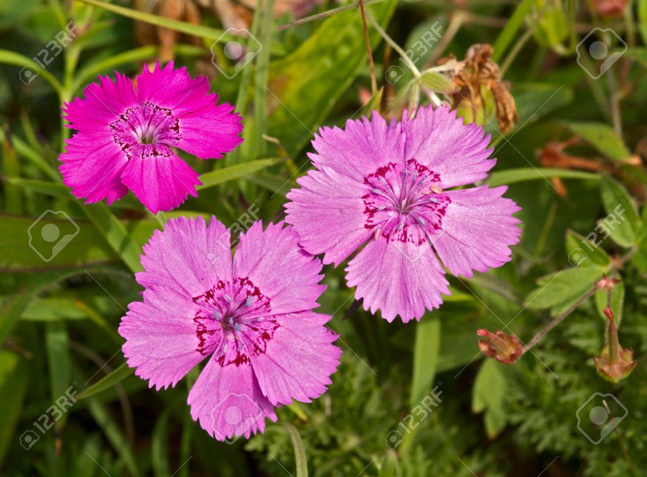Pink Flowers Of A Wild Growing Meadow Carnation Stock Photo Picture