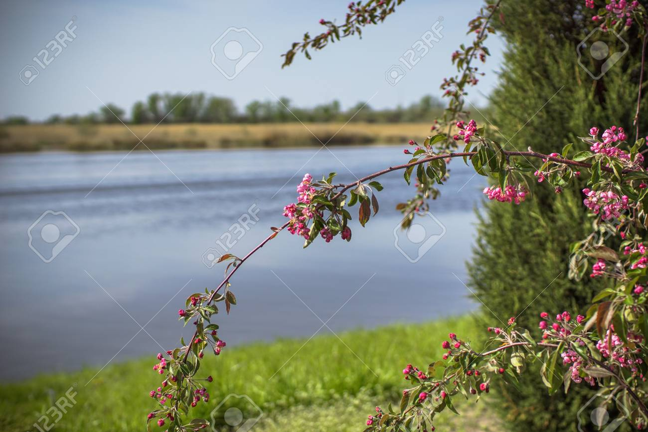 Beautiful Green Tree With Flowers On A Background Of The River