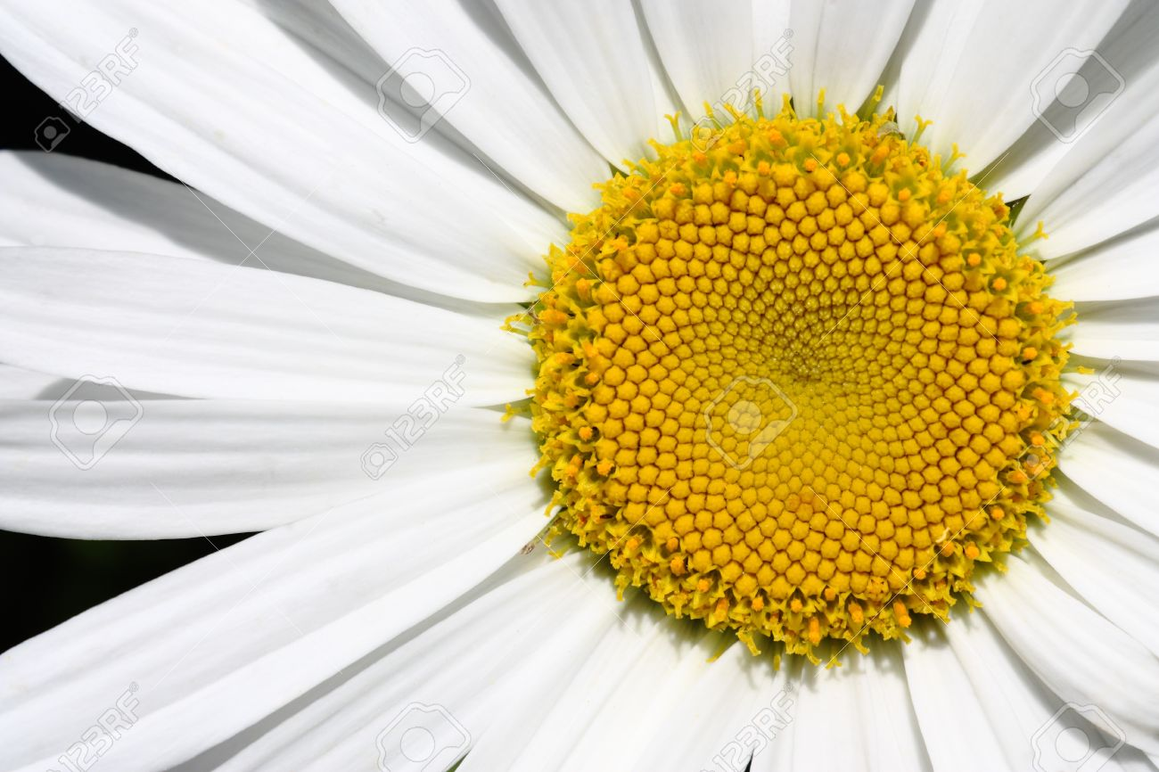 Center Of Big Daisy Flower With Empty Space On Left Stock Photo