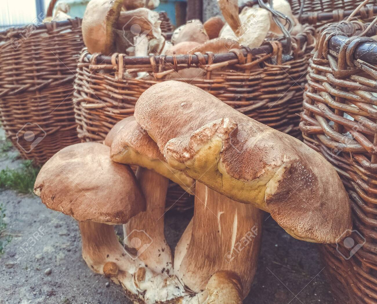 Wicker baskets, completely filled with different mushrooms. Bunch of porcini mushrooms next to baskets of mushrooms. - 137366012
