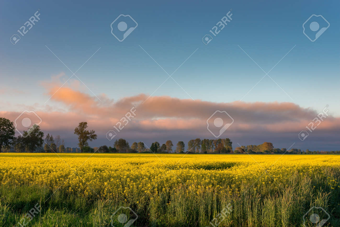 Rural view of the rapeseed field - 147985044