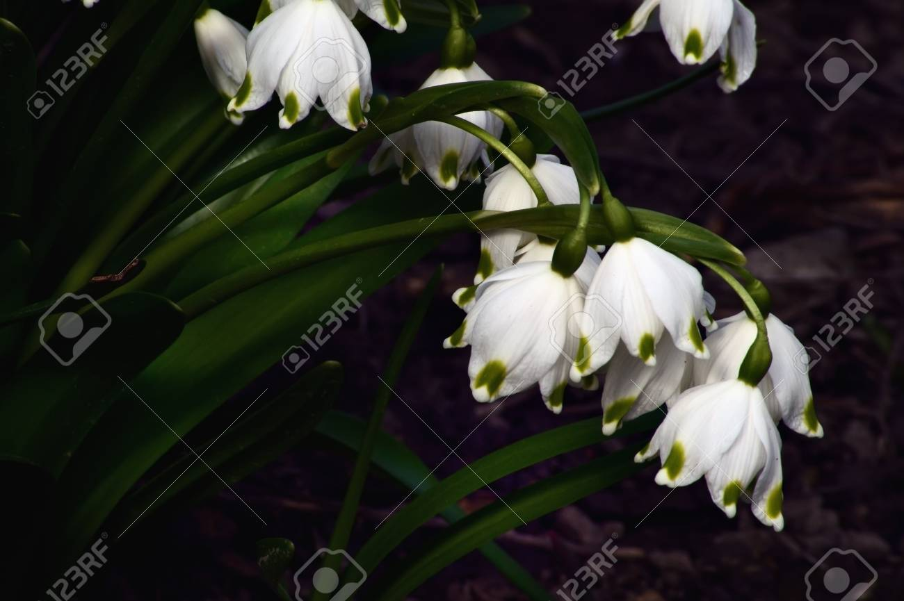 Snowdrops are the first spring flowers that bloom early spring snowdrops are the first spring flowers that bloom early spring they are a symbol of spring mightylinksfo