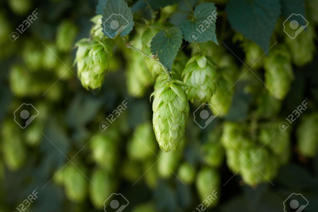 Hop cones in the hop field - 154534143