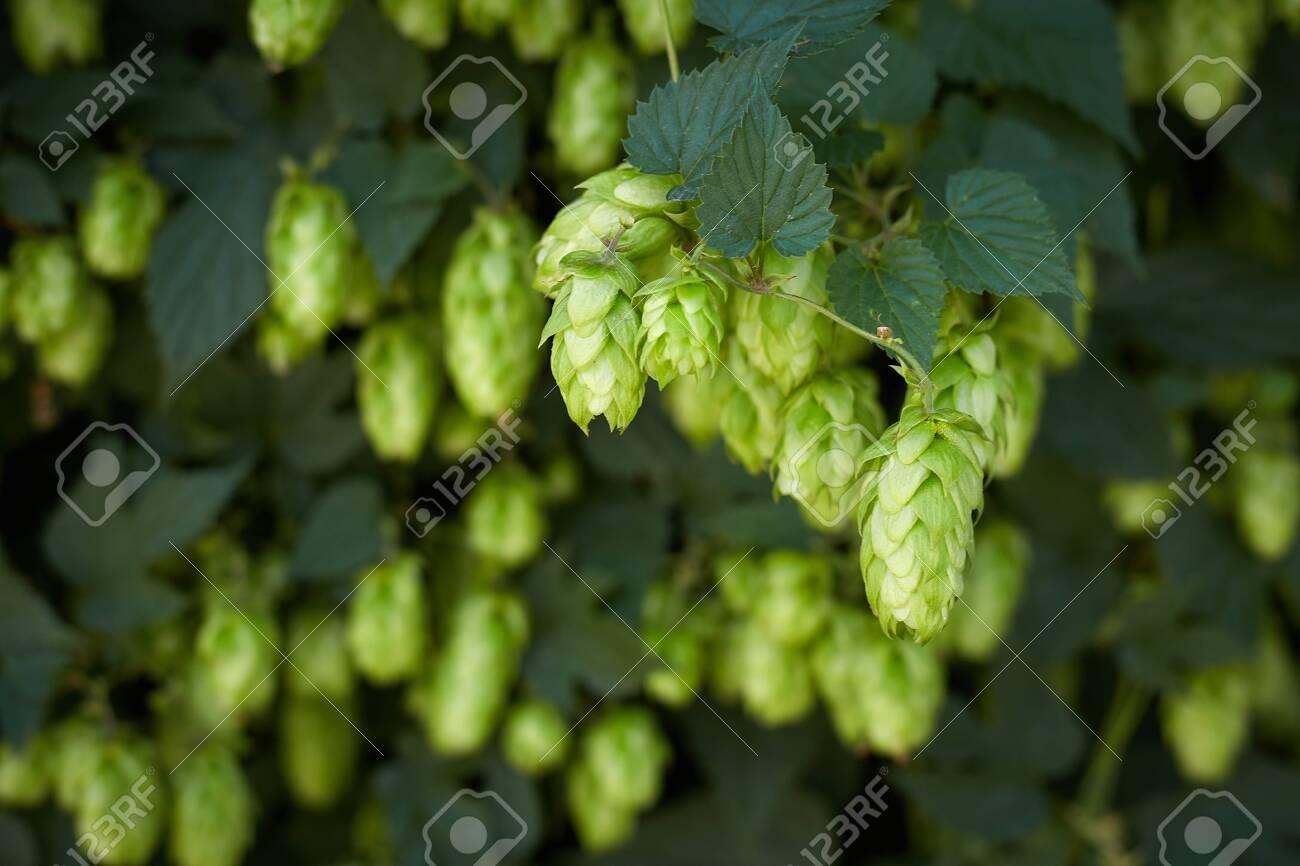 Hop cones in the hop field - 154534144