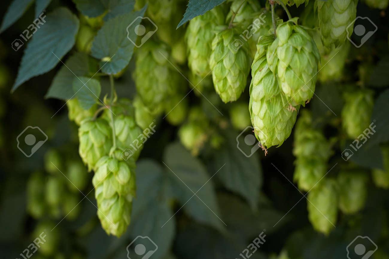 Hop cones in the hop field - 154534146