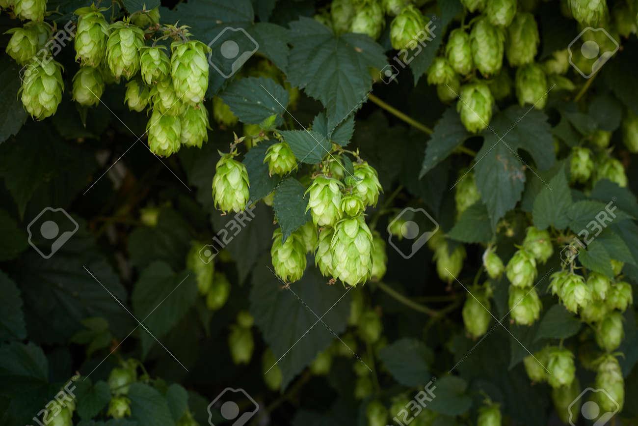 Hop cones in the hop field - 154534151