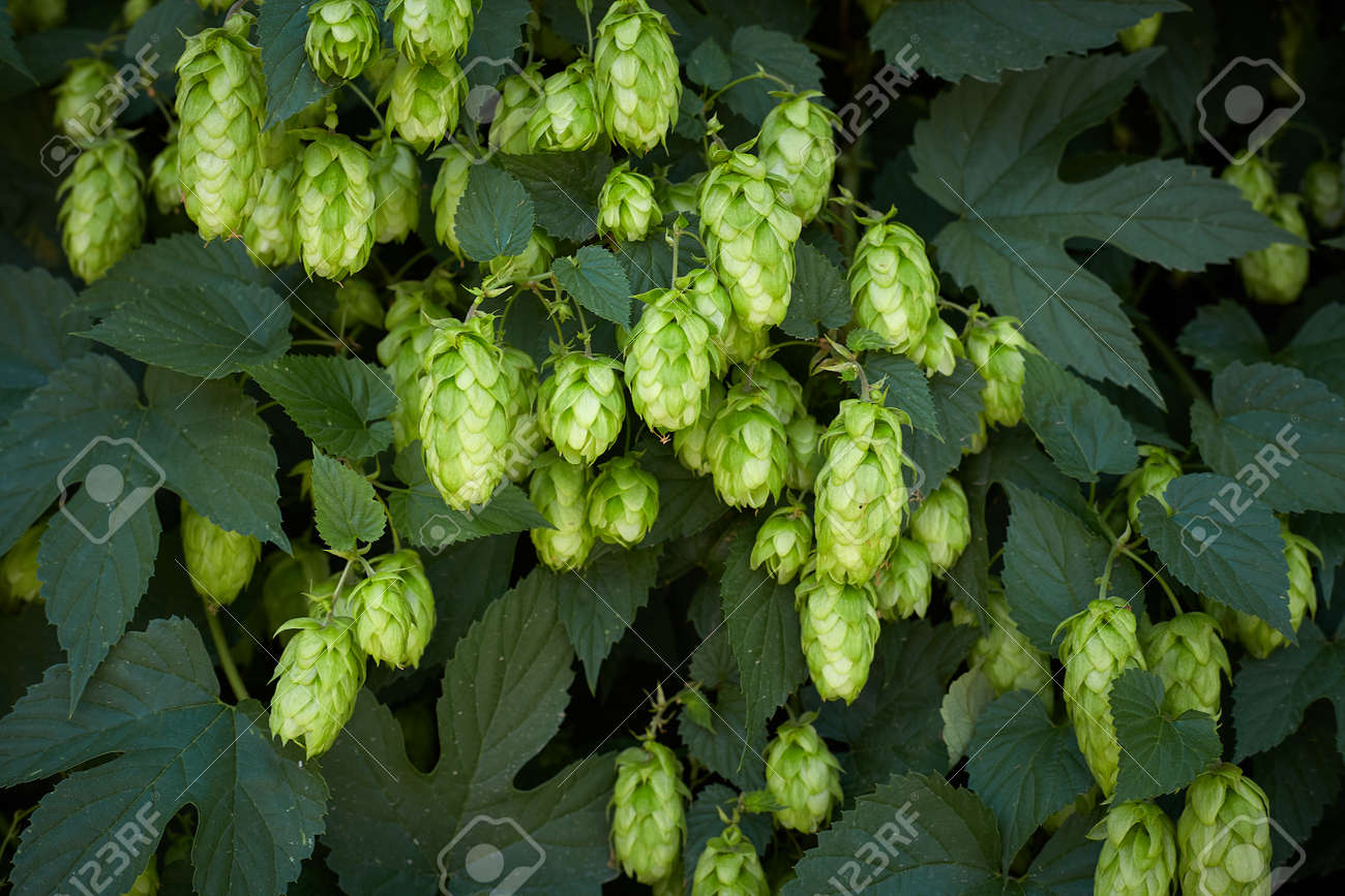 Hop cones in the hop field - 154534152