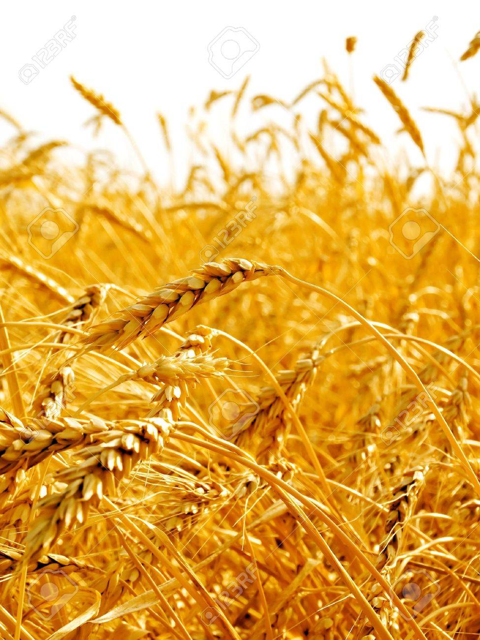 Wheat ears isolated on white background. Stock Photo - 7153576
