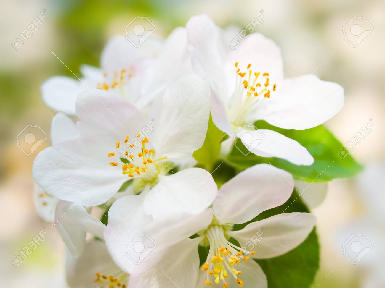 Blossoming apple closeup background. Stock Photo - 9525676