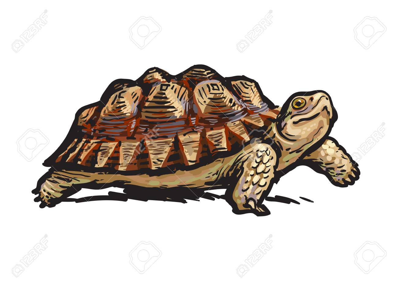 African Spurred Tortoise.Cheerful turtle walking. Realistic hand drawn vector illustration. - 115072986