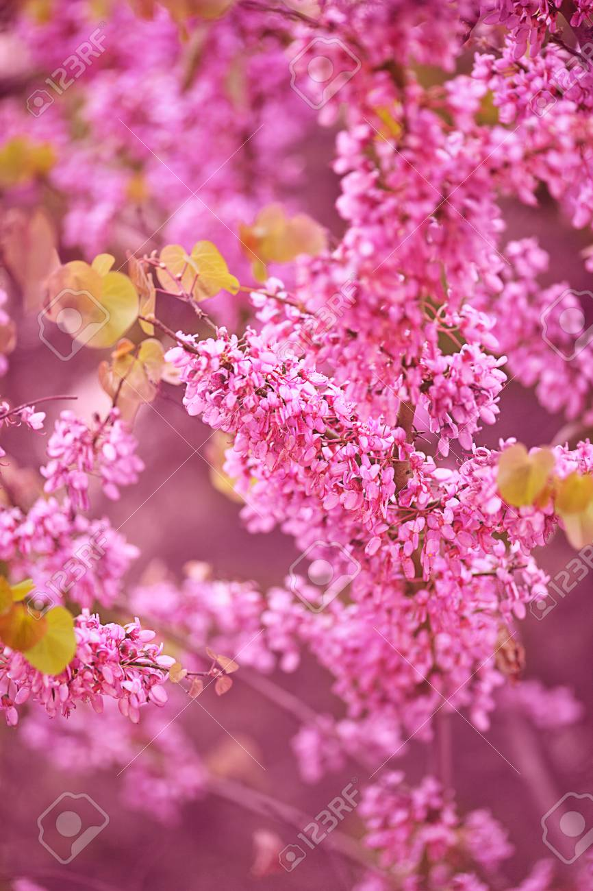 Beautiful purple spring flowers hanging on trees stock photo beautiful purple spring flowers hanging on trees stock photo 56577140 mightylinksfo
