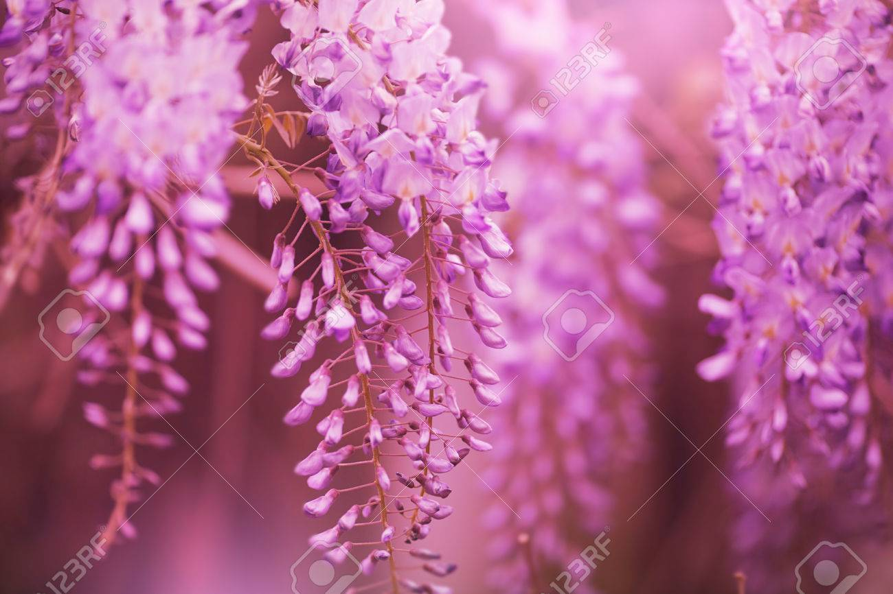 Beautiful Purple Spring Flowers Hanging On Trees Stock Photo
