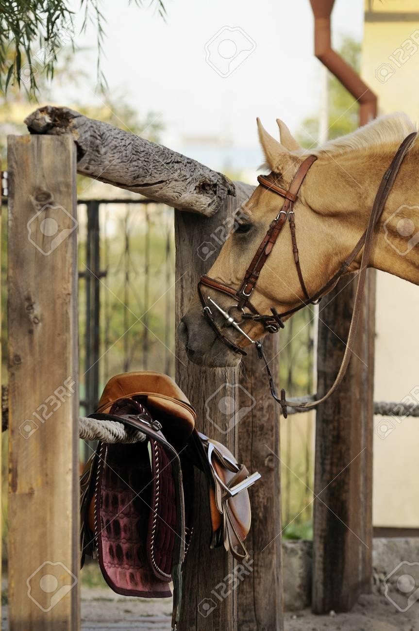Palomino Horse Standing Near Riding Equipment Stock Photo Picture And Royalty Free Image Image 53131989