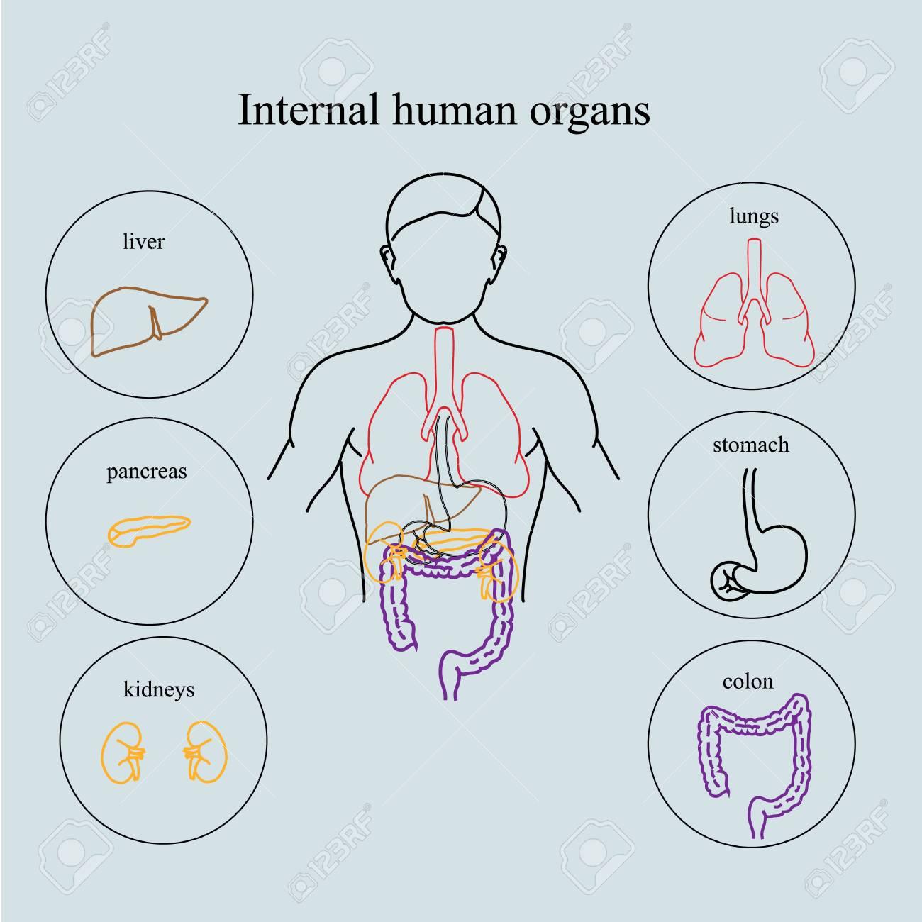 Internal Organs In A Human Body. Anatomy Of People. Medical ...