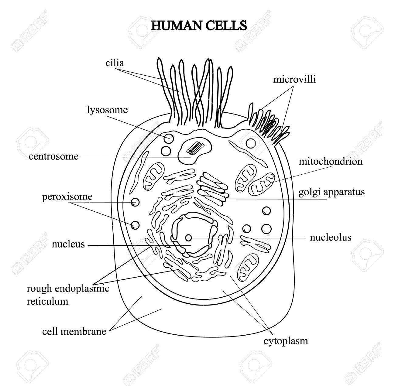 The Structure Of The Human Cells In A Graphic Image Cell Components
