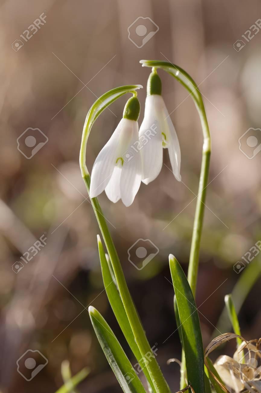 Deux Belles Fleurs Perce Neige Soft Focus Ideal Pour Les Cartes